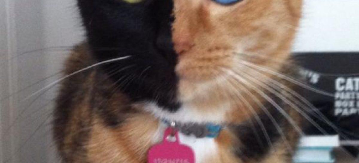 El gato Venus, fenómeno en internet