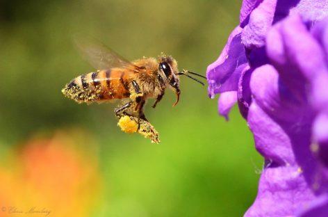 El veneno de las abejas puede usarse para acabar con el VIH