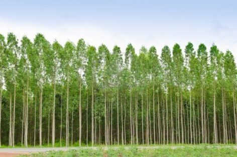 Biomasa de eucalipto para producir energía limpia