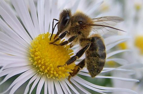 Proteger las abejas, garantizar la biodiversidad