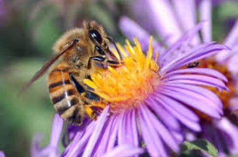 Proteger las abejas, grandes ingenieras del ecosistema