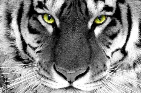 Salvar a los tigres es posible