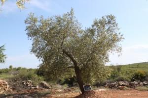 Al calor del Olivo, árbol milenario de sabiduría