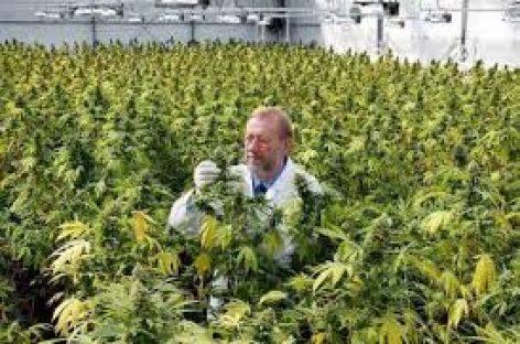 Apoyo al uso del cannabis con fines médicos