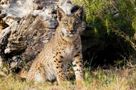 España salva su lince ibérico de la extinción