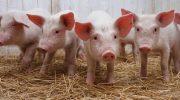Organos de cerdos para salvar vidas humanas